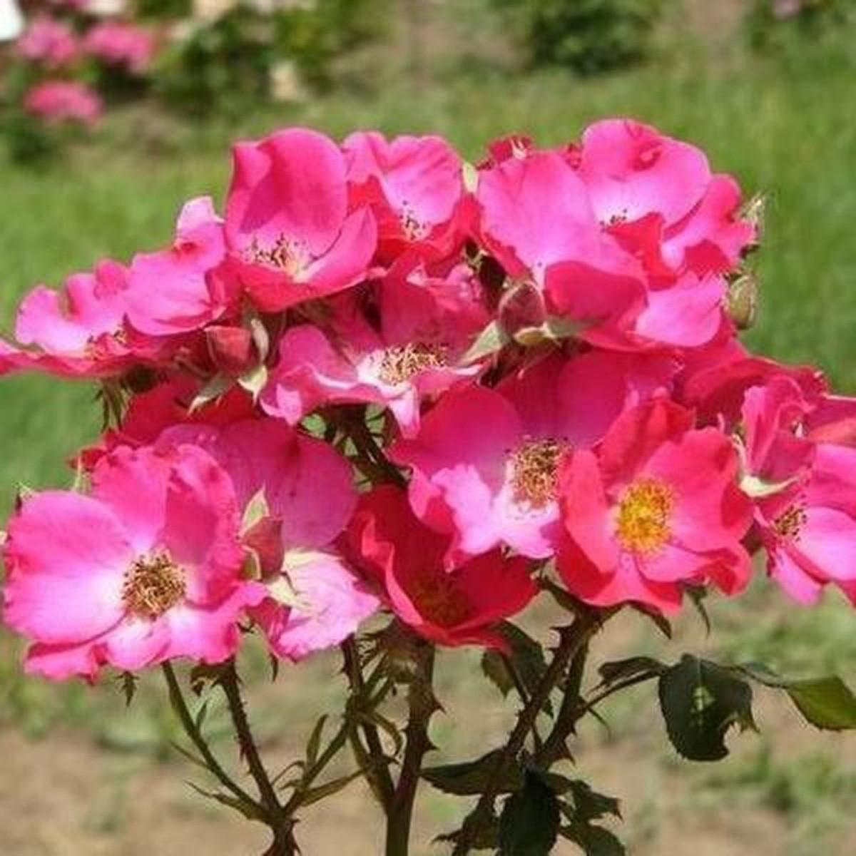 Rosa buismans glory 2