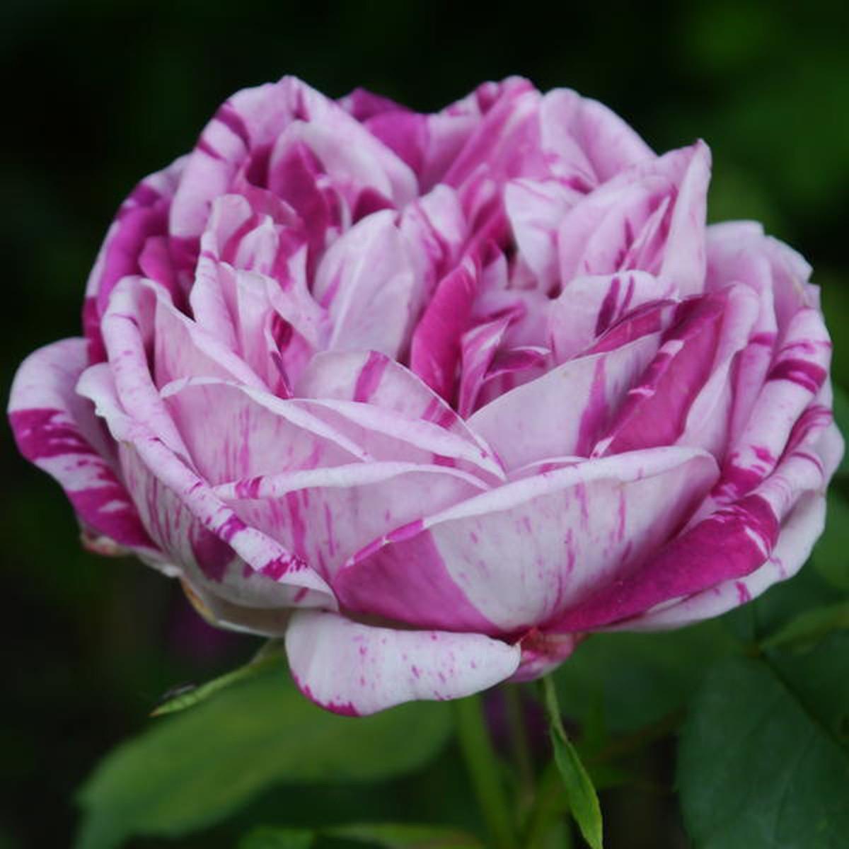 Rosa honorine de brabant 2