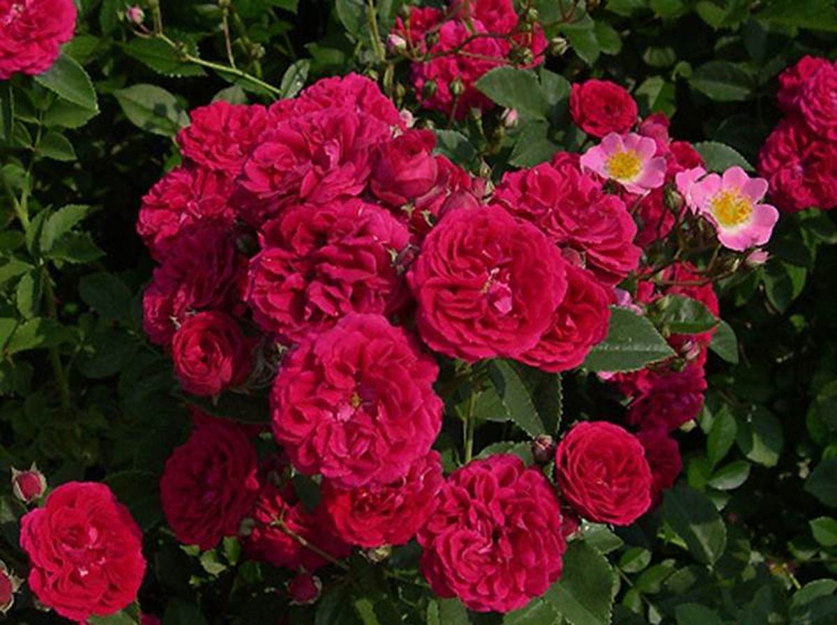 Rose chevi chase 2