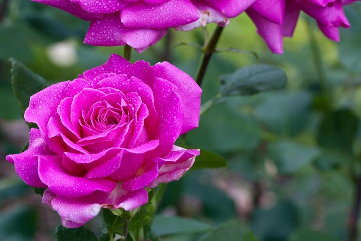 Rose duftrausch 2
