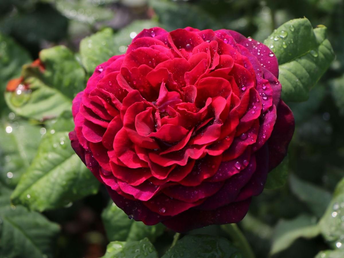 Rose grafi von handerberg 2