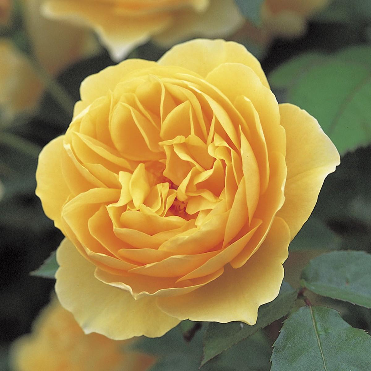 Rose graham thomas 2