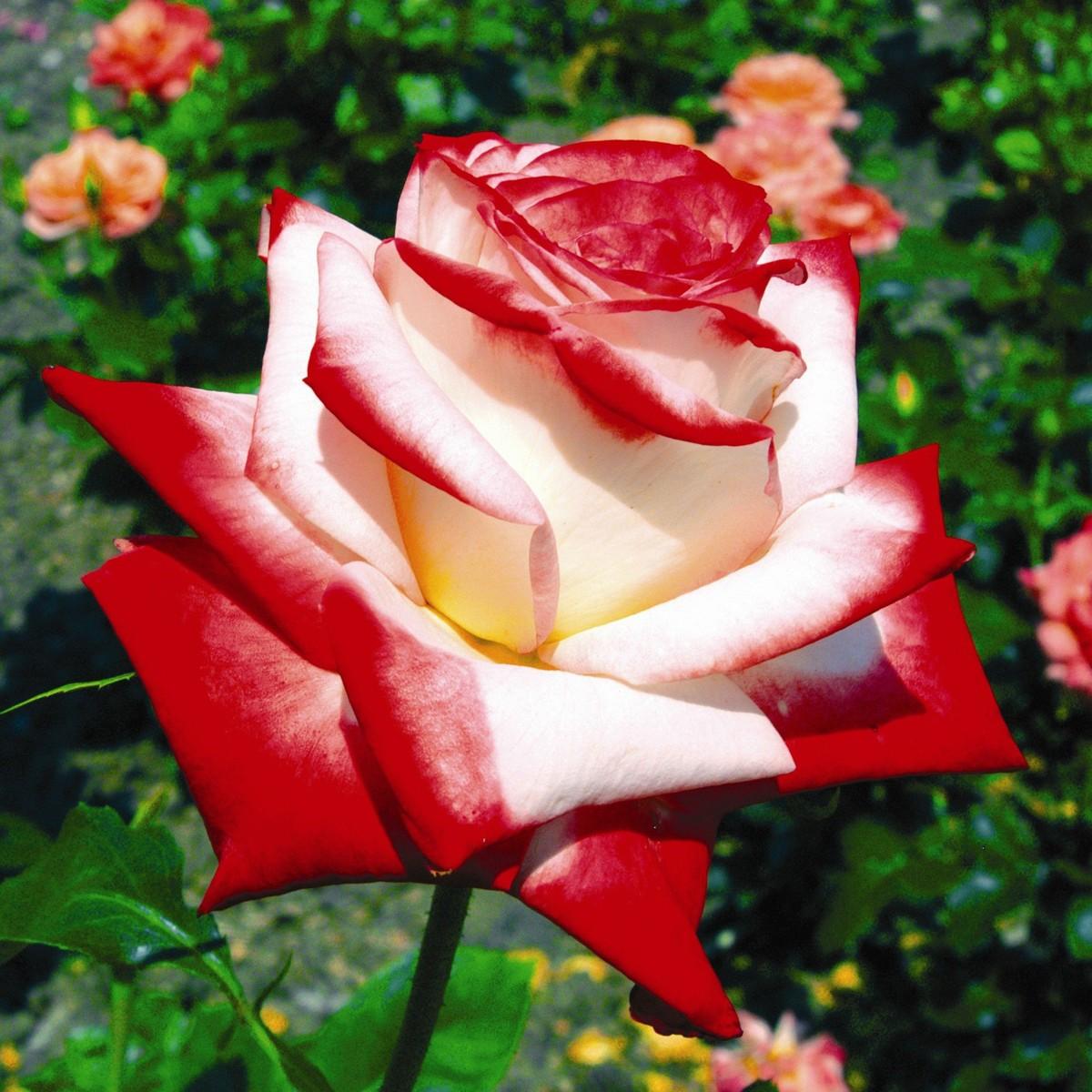 Rose imperatriche farah 2