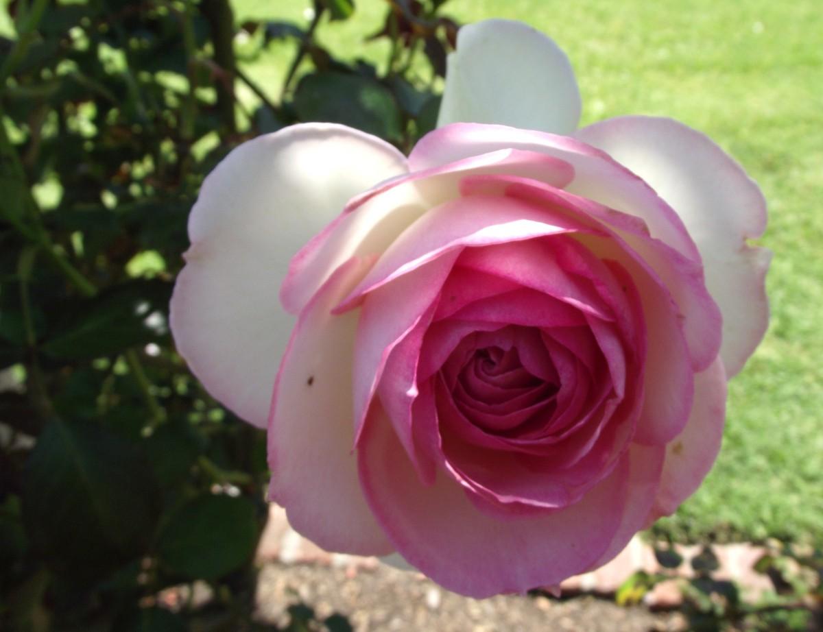 Rose me ividlin 2